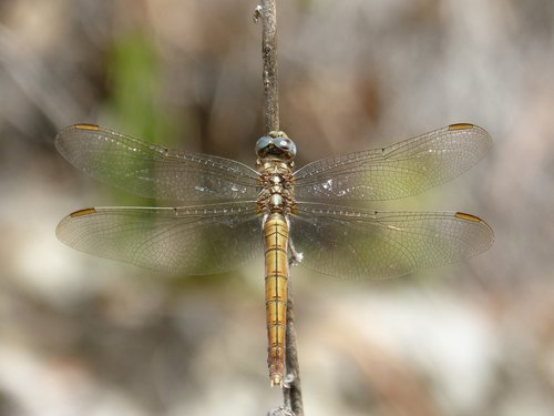 dragonfly  branch  winged insect