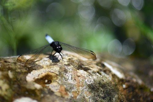 dragonfly  bug  animals