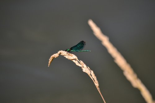 dragonfly  green  insect