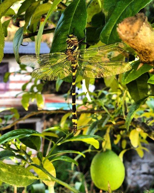 dragonfly  lemon tree  lemon