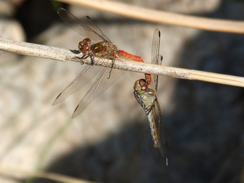 dragonfly  insect intercourse  mating