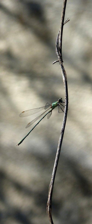dragonfly  green dragonfly  damselfly