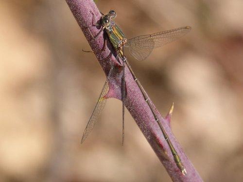 dragonfly  green dragonfly  lestes viridis