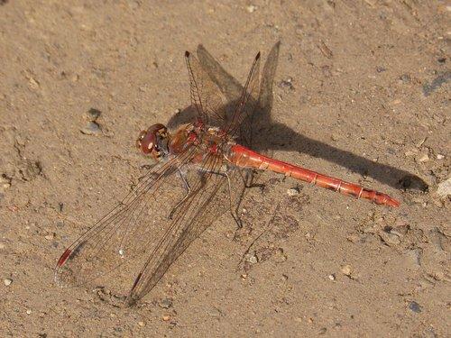 dragonfly  sympetrum striolatum  branch