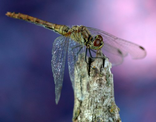 dragonfly  wings  insecta