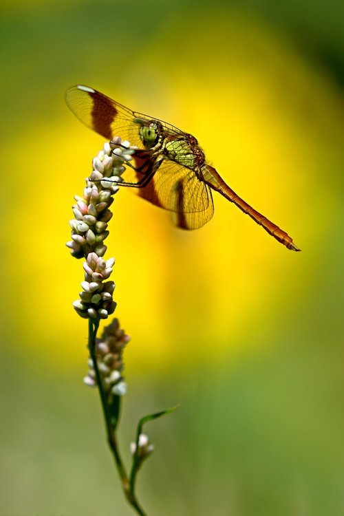 dragonfly  nature  ali