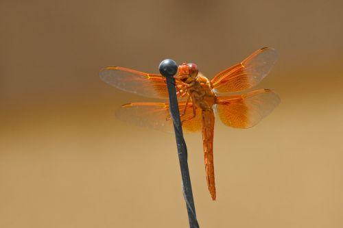 lazda,liepsnos skimeris,libellula saturata,oranžinė,libellulidae,vabzdys,sparnai,subtilus,klaida,trapi