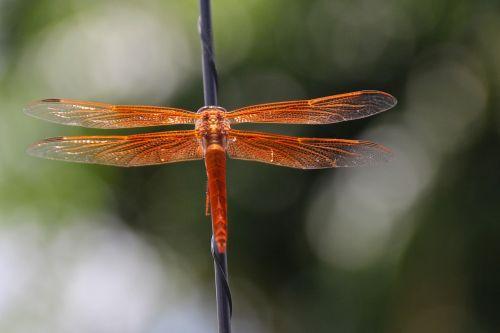 lazda,liepsnos skimeris,libellula saturata,oranžinė,libellulidae,vabzdys,sparnai,subtilus,simetrija,struktūra,trapi,dizainas,klaida