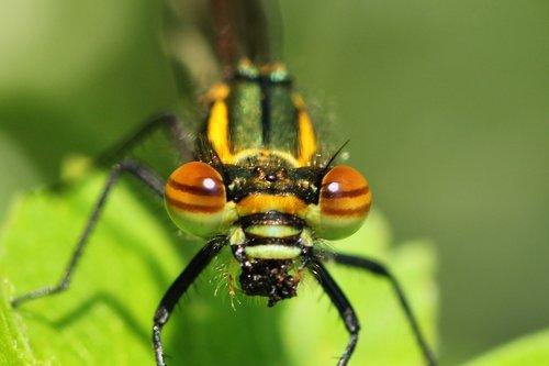 dragonfly  early adonis dragonfly  adonis dragonfly