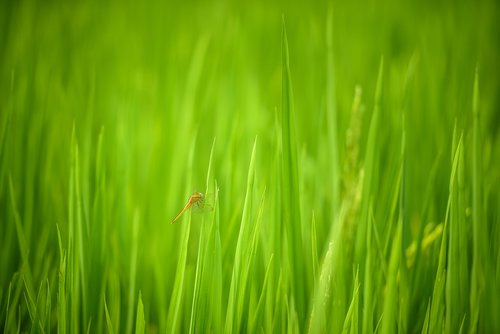 dragonfly  rice field in vietnam  vietnam
