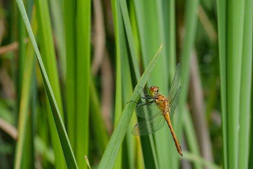 dragonfly  rudy darter  pond