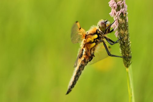 dragonfly  four patch  sailing dragonfly