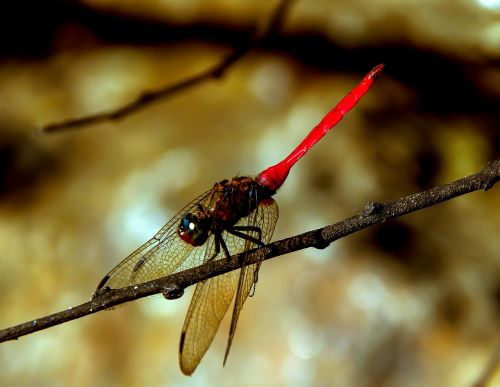 dragonfly insect red