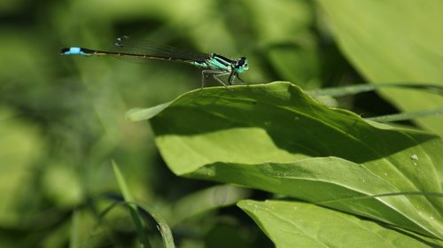 dragonfly  blue  nature