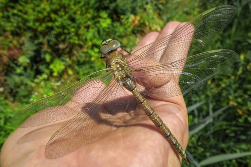 dragonfly  brown  wing