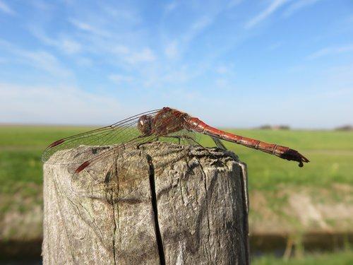 dragonfly  darter  nature