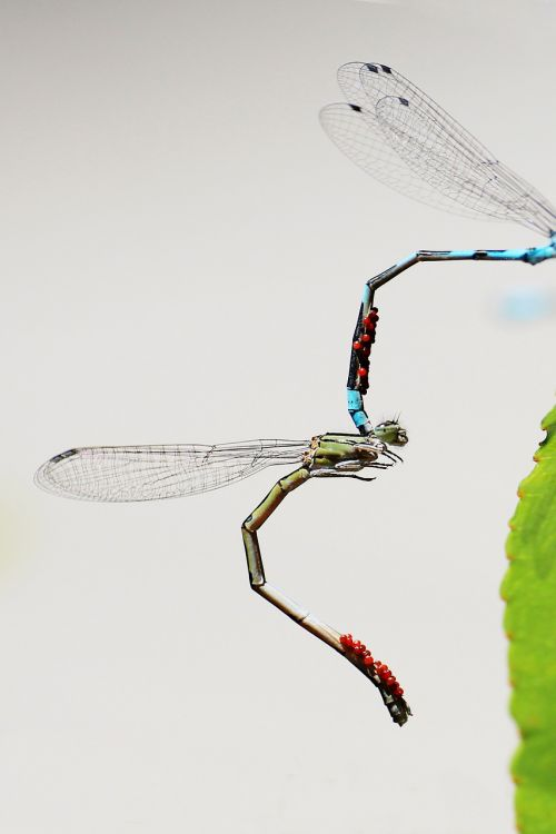 dragonfly mating wings