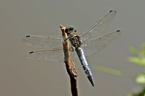 dragonfly sailing dragonfly orthetrum cancellatum