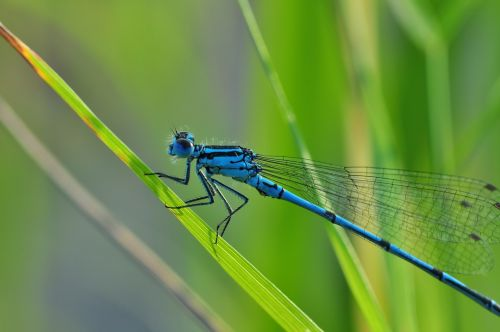 dragonfly azure bridesmaid insect