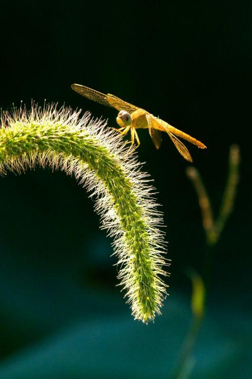 dragonfly insect setaria viridis