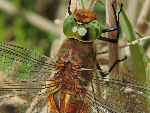 dragonfly glazier nature