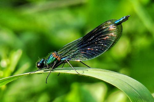 dragonfly nature dragonflies