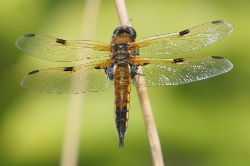 dragonfly animal fauna