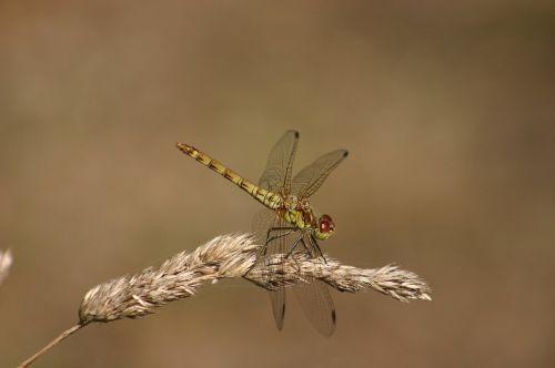 dragonfly green hawker damselfly