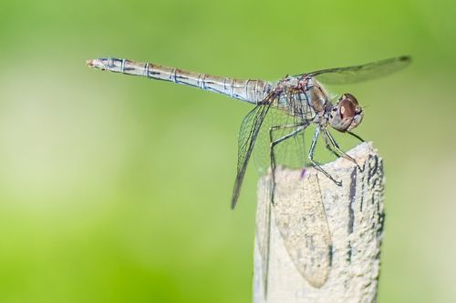 dragonfly mosquitoes insect