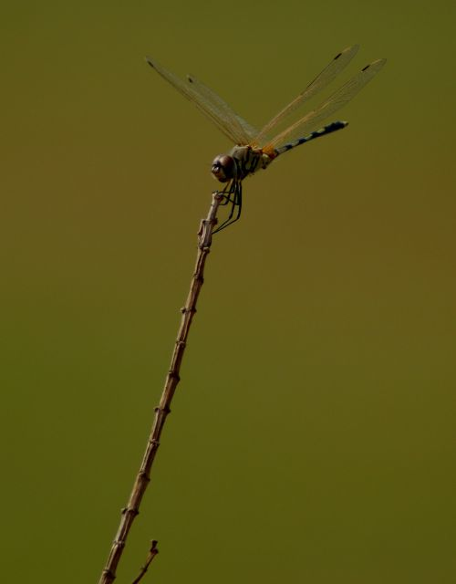 dragonfly on top hold