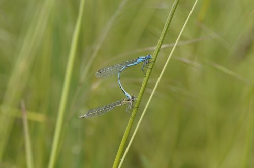 dragonfly males insect