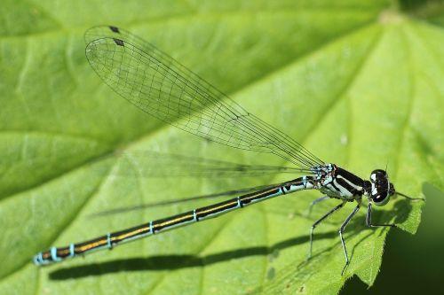 lazda,vabzdys,pavasaris,vasaros pradžia,saulė,lapai,Uždaryti,sparnas,makro,vabzdžių makro,skrydžio vabzdys,gamta