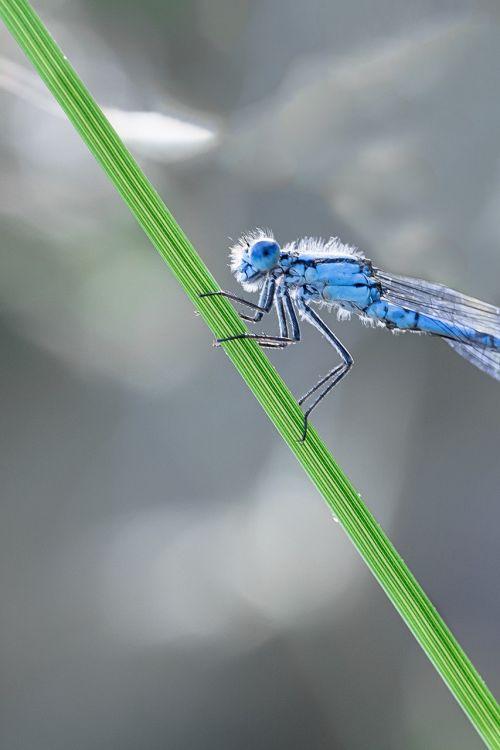 dragonfly macro enallagma