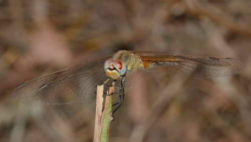 dragonfly sympetrum fonscolombii