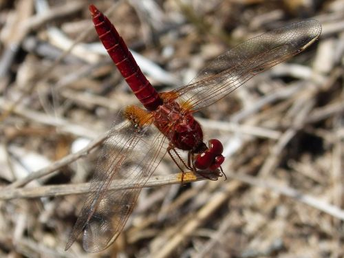 dragonfly ebro delta insects