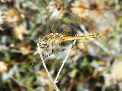 dragonfly insect colors