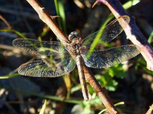 dragonfly wings brightness