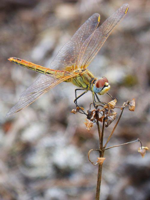 dragonfly yellow branch