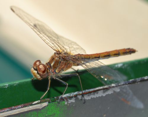 dragonfly insect odonata