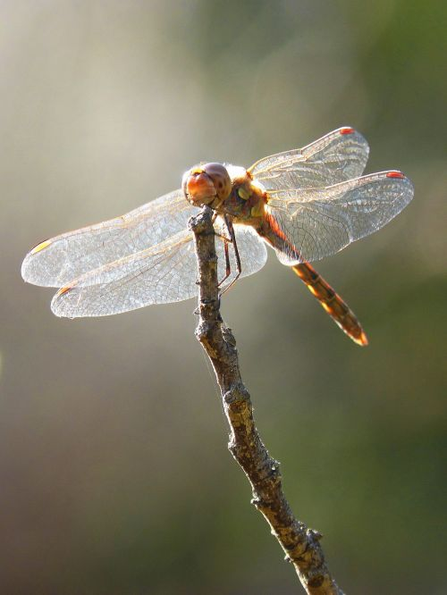 dragonfly wings backlight