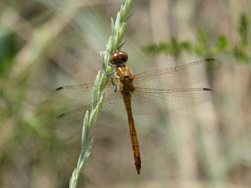 dragonfly amarila stem winged insect