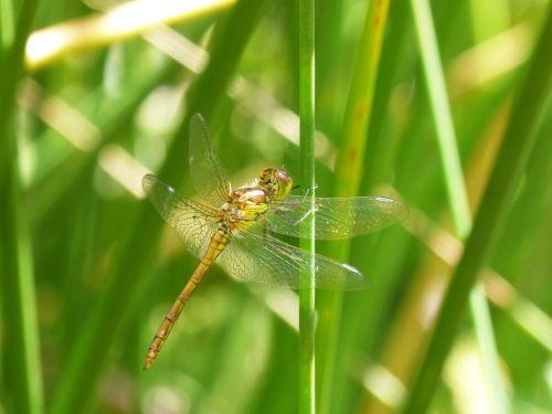 dragonfly amrilla stem wetland