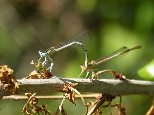 dragonfly white damselfly platycnemis latipes