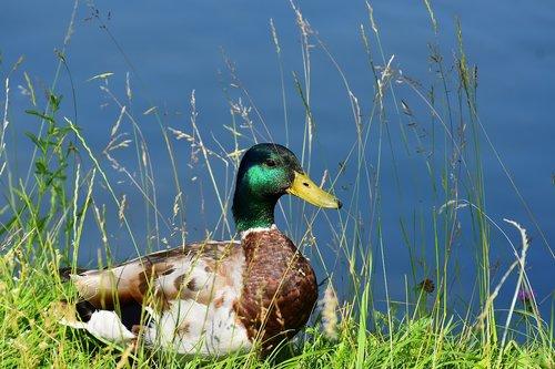 drake  mallard  water bird