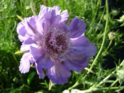 drakiew kaukasa perennial flower