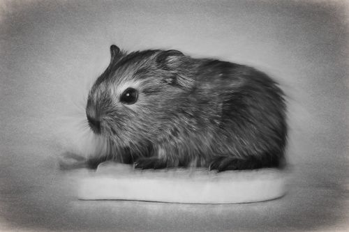 drawing guinea pig young animal