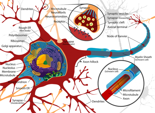 drawing nerve cell neurone