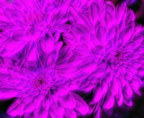 Dreamy Chrysanthemums