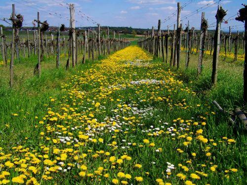 dressing-gown dandelion yellow wildflower child láncfű