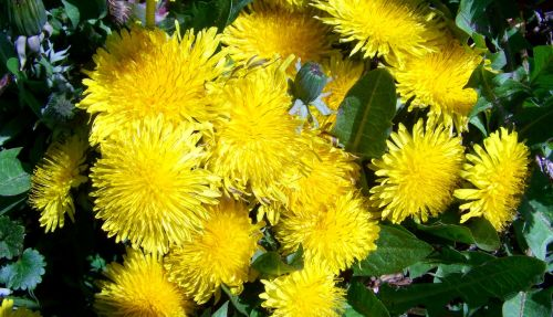 dressing-gown dandelion yellow spring wildflower child láncfű